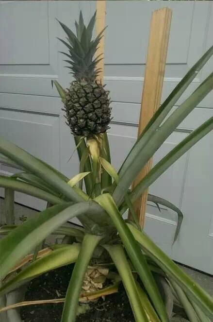 如何在家中菠萝