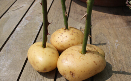 土豆扦插玫瑰